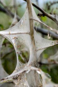 gespinstmotten gewebter kokon