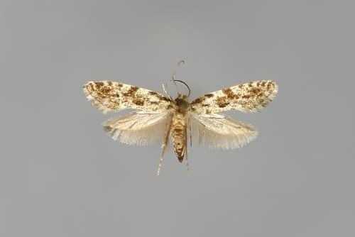 lebensmittelmotten kornmotte nemapogon granellus