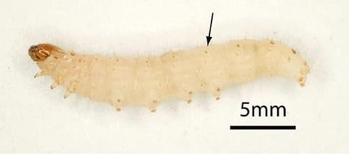 mehlmotte larve