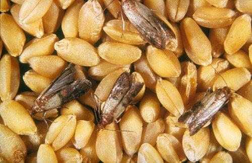 mit lebensmittelmotten befallenes korn