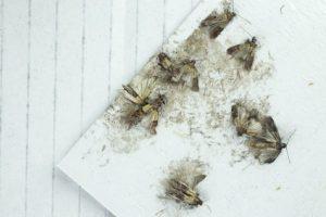 mehlmotten-bekaempfung-mottenfalle-pheromone
