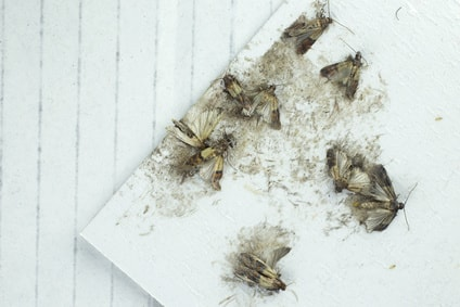 Mehlmotten mit Mottenfallen loswerden
