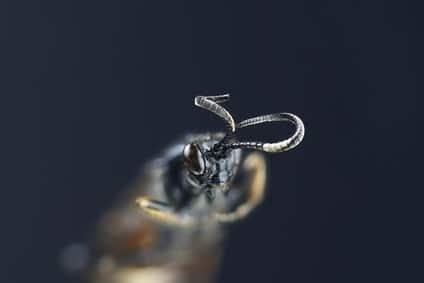 schlupfwespe beisswerkzeuge mikroskopie
