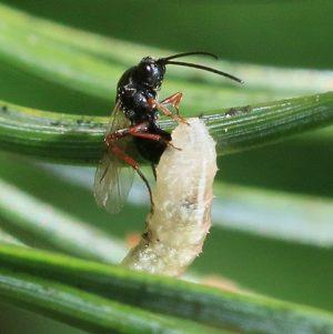 schlupfwespe-bei-der-eiablage-in-die-larve-einer-schwebfliege