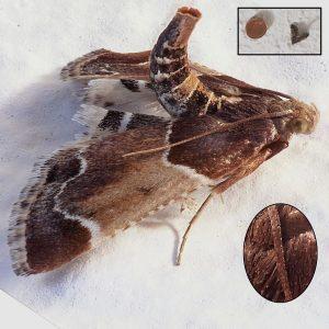 Mehlzünsler (Pyralis farinalis) bestimmen Groessenvergleich