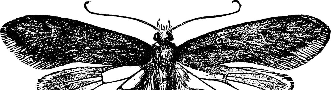 Pelzmotte (Tinea Pellionella)