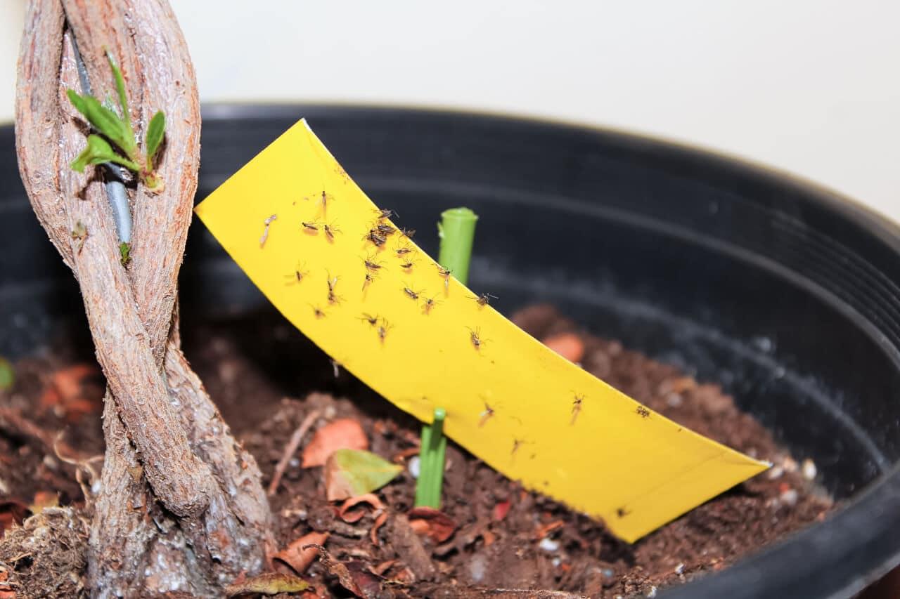 Gelbsticker in Pflanze gegen Trauermücken
