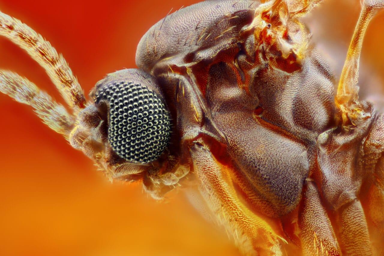 Starke Vergrösserung Trauermücke Fungus Gnat
